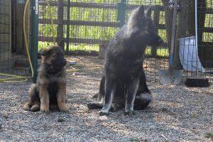 comme chiens et loups 004