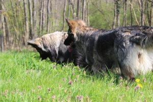 comme chiens et loups 010