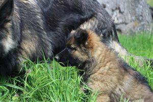 comme chiens et loups 024