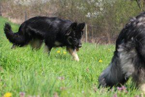 comme chiens et loups 038