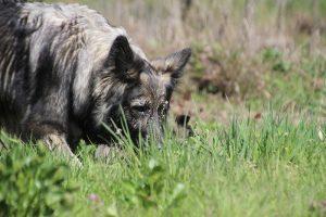 comme-chiens-et-loups 052