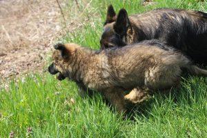 comme chiens et loups 070