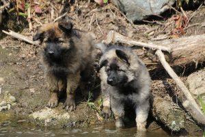 comme chiens et loups 092