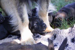 comme-chiens-et-loups 014