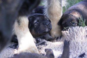 comme-chiens-et-loups 015