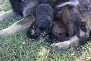comme-chiens-et-loups 028