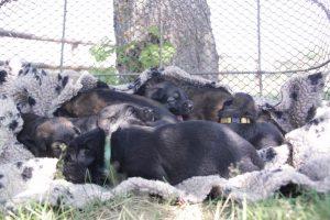 comme-chiens-et-loups 068