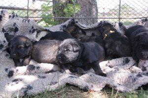 comme-chiens-et-loups 072