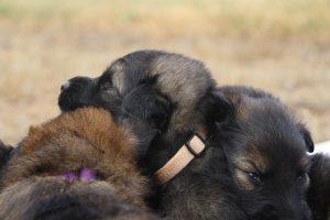 comme-chiens-et-loups 168