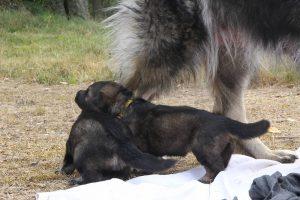 comme-chiens-et-loups 218