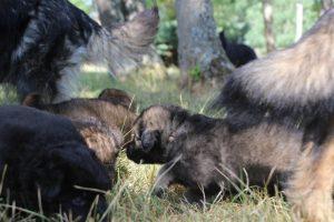 comme-chiens-et-loups 002
