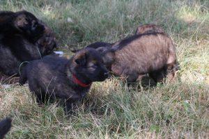 comme-chiens-et-loups 011
