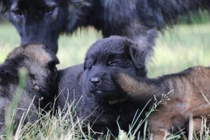 comme-chiens-et-loups 035
