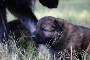 comme-chiens-et-loups 037