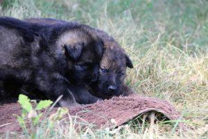 comme-chiens-et-loups 039