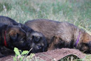 comme-chiens-et-loups 040