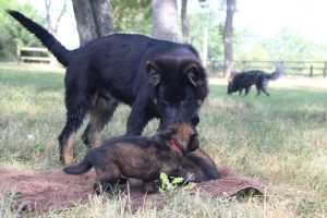 comme-chiens-et-loups 043