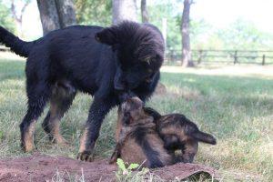 comme-chiens-et-loups 044