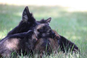 comme-chiens-et-loups 054