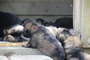 comme-chiens-et-loups 055