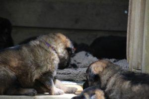 comme-chiens-et-loups 056