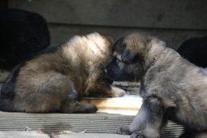comme-chiens-et-loups 058