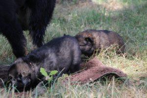 comme-chiens-et-loups 061
