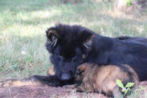 comme-chiens-et-loups 066