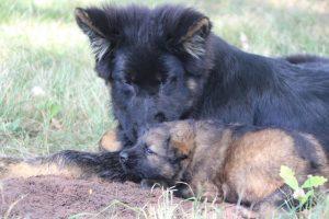 comme-chiens-et-loups 067