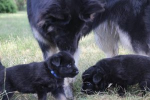 comme-chiens-et-loups 078