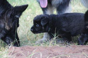 comme-chiens-et-loups 079