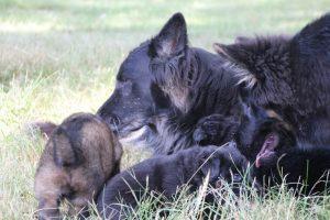 comme-chiens-et-loups 080