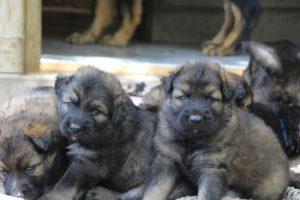comme-chiens-et-loups 082