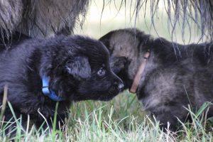 comme-chiens-et-loups 094