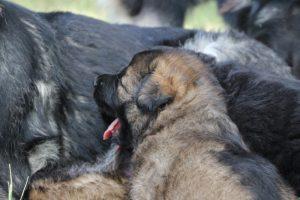 comme-chiens-et-loups 130