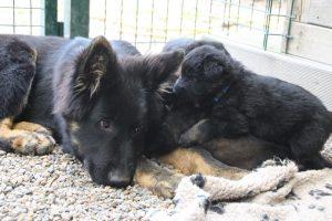 comme-chiens-et-loups 131