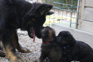 comme-chiens-et-loups 133
