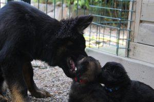 comme-chiens-et-loups 134