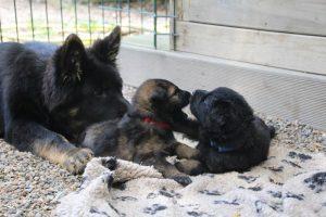 comme-chiens-et-loups 138