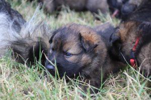 comme-chiens-et-loups 139