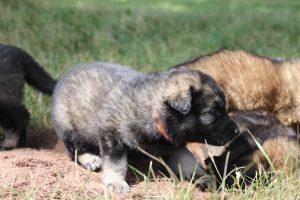 comme-chiens-et-loups 174