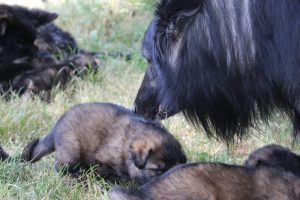 comme-chiens-et-loups 198