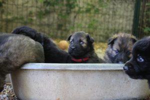 comme-chiens-et-loups 227