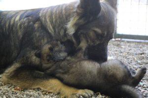 comme-chiens-et-loups 231