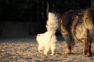 élevage-de-berger-allemand-comme-chiens-et-loups0002