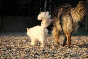 élevage-de-berger-allemand-comme-chiens-et-loups0003