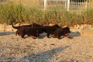 élevage-de-berger-allemand-comme-chiens-et-loups0008
