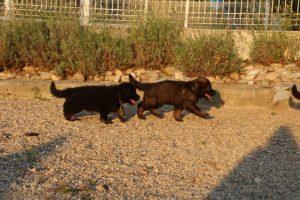 élevage-de-berger-allemand-comme-chiens-et-loups0009