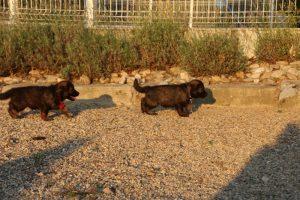 élevage-de-berger-allemand-comme-chiens-et-loups0010