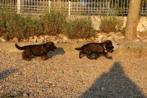élevage-de-berger-allemand-comme-chiens-et-loups0011